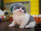 出售纯种折耳猫温顺粘人健康保障欢迎上门挑选
