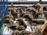 魔王黄山松鼠,雪地松鼠,耳兔,蜜袋鼬各种宠物都有