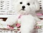 精品寵物繁殖基地長期出售比熊幼犬 保證品質健康