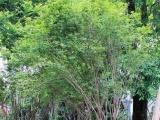 嘉宝果树苗培育基地-嘉宝果树苗优良品种批