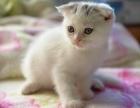 家有折耳猫幼崽,颜值超高,会用猫砂,绝对健康