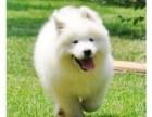 纯种萨摩耶幼犬出售 微笑天使萨摩 品相极佳品质保证