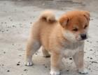 清远哪里有卖柴犬 柴犬一只多少钱 清远柴犬价格