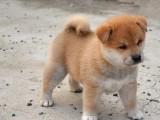 广东最大柴犬养殖场出售纯种健康柴犬幼犬 汪泰犬舍直销幼犬