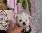 雪白的西高地幼犬聪明也很梗类小狗