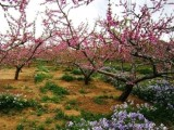 2020年平谷桃花节一日游报价 平谷桃花节举办时间和具体地址