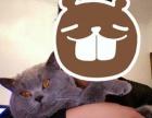 临沂兰山区伊甸园精品名猫馆常年繁育纯种英国