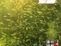 2018年优质金鱼锦鲤水花苗种批发预订中