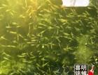 2018年優質金魚錦鯉水花苗種批發預訂中