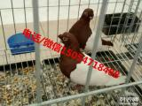 肉鸽养殖场 白羽王种鸽价格 种鸽多少钱