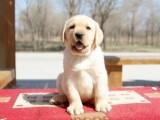 中山拉布拉多幼犬价格多少中山哪里有卖拉布拉多小狗价格
