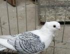 彩背 点子 燕子 俄罗斯 金鱼鸽 等60多个品种出售