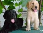 国内首选赛级拉布拉多品牌犬舍 协会定点犬舍签订协议