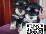 纯正健康雪纳瑞犬出售-幼犬出售,当地可以上门挑选