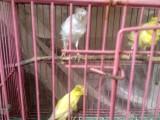 出售白玉鸟今年小鸟