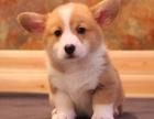 精品萌宠柯基犬出售疫苗齐全保健康签订协议随时上门