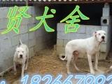 卡斯罗、杜高犬,牧羊犬、罗威纳、比利时马犬、莱洲红