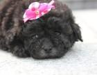 泰迪幼犬 出售茶杯泰迪 哪里有泰迪狗狗 泰迪照片 泰迪熊犬