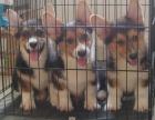 重庆本地犬舍直销纯种 柯基犬 包健康签协议送货上门