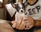 临安哪有吉娃娃犬卖 临安吉娃娃犬价格 临安吉娃娃犬多少钱