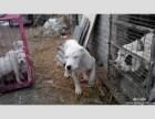 常年出售杜高犬 杜高犬图片