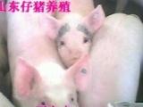 山东仔猪/仔猪网/仔猪价格/仔猪交易