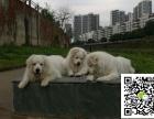 沉着 稳重外形酷似藏獒的大白熊幼犬健康保证