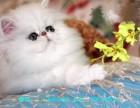 桂林哪里有金吉拉猫卖 猫舍直销 健康活泼 包纯种 保养活