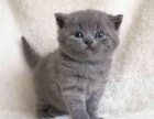 自家繁殖 英短蓝猫,蓝加白,渐层