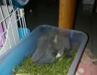 dy长期有卖纯种垂耳兔宠物兔服务好!不会养全程指导包邮