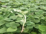 脱毒豫薯868红薯苗-烟薯25红薯苗-高淀粉红薯苗供应