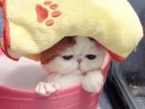 純種異國短毛貓大臉加菲貓幼崽包子臉波斯貓幼貓