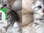 济南哪里卖折耳猫 济南哪里有宠物店 济南哪里卖宠物猫便宜
