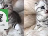 昆明哪里有折耳猫出售 昆明折耳猫价格 昆明宠物狗出售信息