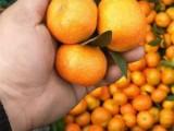 桂林永福沙糖桔 沙糖桔批發 廣西沙糖桔批發