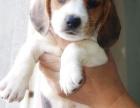 昆明本地犬舍繁殖精品,比格犬,血统纯种,保证健康,签协议
