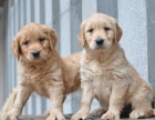 北京出售 金毛幼犬 純種健康保障 疫苗驅蟲已做 簽協議