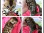 哪里有出售精品宠物猫豹猫包纯种健康送货上门