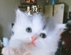高地英短蓝白梵文猫