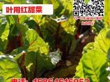 红甜菜 甜菜头 根达菜 莙荙菜种子 四季种植 盆栽蔬菜