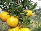 老家自产椪柑,血橙,价格优惠,全国包邮