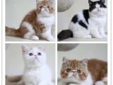 藍貓,漸層,凈梵,虎斑,暹羅貓