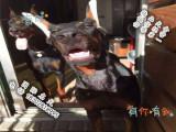 哪里可以买到健康的杜宾犬可以签协议的那种