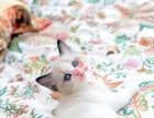 成都哪里有卖布偶猫 成都买布偶猫到哪里好