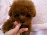 重庆出售 泰迪犬,疫苗驱虫已做视频