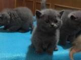 纯正英短优 质品种 大包子脸蓝猫出售 包纯种健康 全国发货