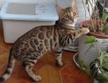 孟加拉豹貓 野性外表溫柔家貓性格時尚完美純種健康