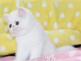 貴州畢節純白加菲貓出售