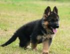 天津哪有德国黑背犬卖 天津德国黑背犬图片 德国黑背犬多少钱