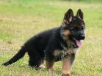 上海官方认证宠物领养中心 德国牧羊犬小尝赠送
